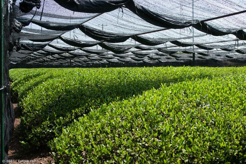 Anbau und Herstellung von Matcha Tee